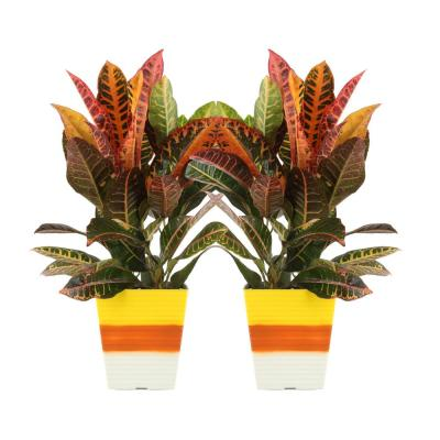 6 in. Croton Petra Live Plant in Candy Corn Decorative Container (2-Pack)