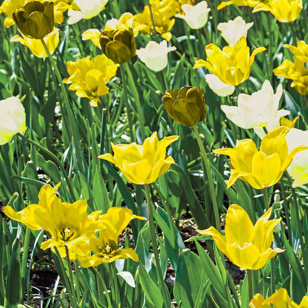 Breck's Yellow Flowering Lasagna Bulb Mixture (15-Pack)