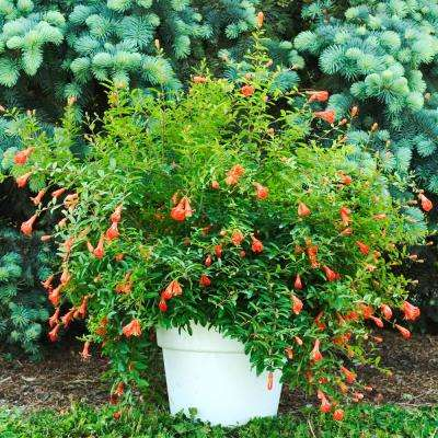 3 in. Pot Dwarf Pomegranate (Punica) Live Fruiting Tree Orange-Red Flowers