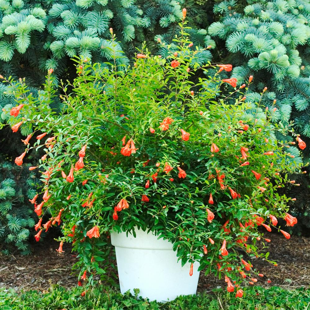 Gurney's 3 in. Pot Dwarf Pomegranate (Punica) Live Fruiting Tree Orange-Red Flowers Dwarf Pomegranate has bright coral-red flowers and fruit that makes it a striking houseplant. Its orange-red blossoms are followed by bright orange-red ornamental fruit. Trees grow up to 36 in. tall. Perfect for growing outdoors, too. It's able to withstand temperatures as low as 40°F. Set plants outside in the summer and watch their funnel-shaped flowers attract hummingbirds. Dwarf Pomegranate requires full exposure to the sun and consistent, regular watering for best results.