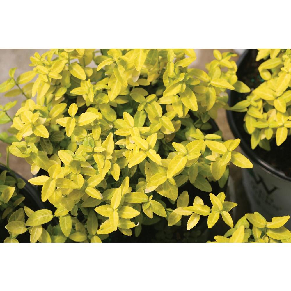 Proven Winners Goldy ColorChoice Euonymus 4.5 in. Quart