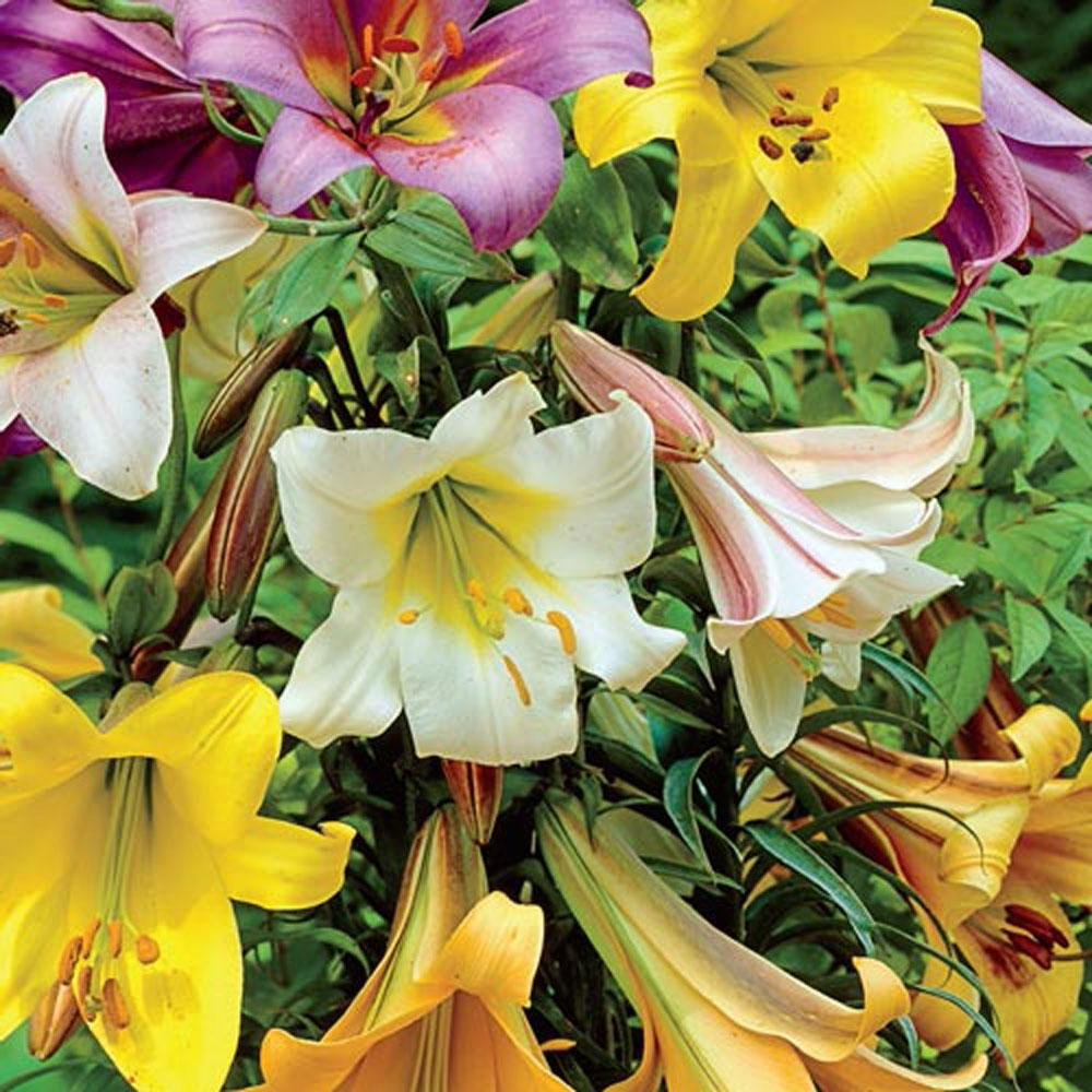 Trumpet Lily Bulbs (10-Pack)