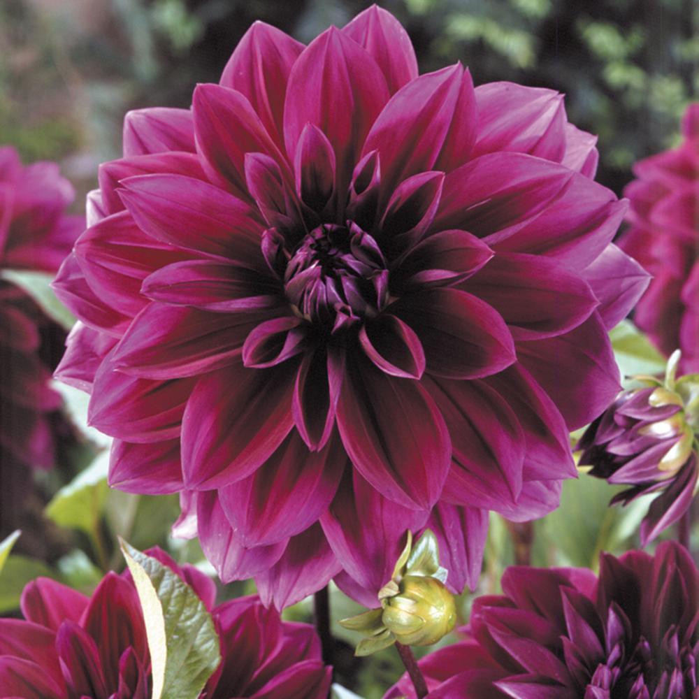 Dahlia purple perennial flower bulbs garden plants flowers dahlias thomas edison bulbs set of 5 mightylinksfo