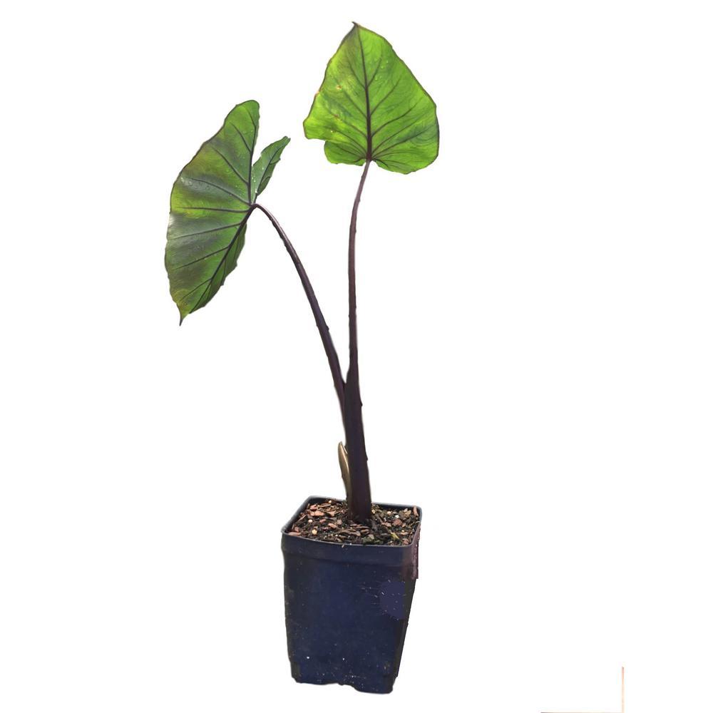 Daylily Nursery Black Stemmed Elephant Ear 1 Plant In A Quart Pot