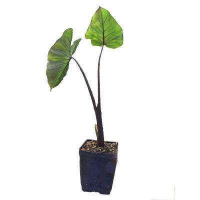 Black Stemmed Elephant Ear 1-Plant in a Quart Pot