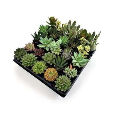 1.75 in. Succulent Mix (25-Plants)
