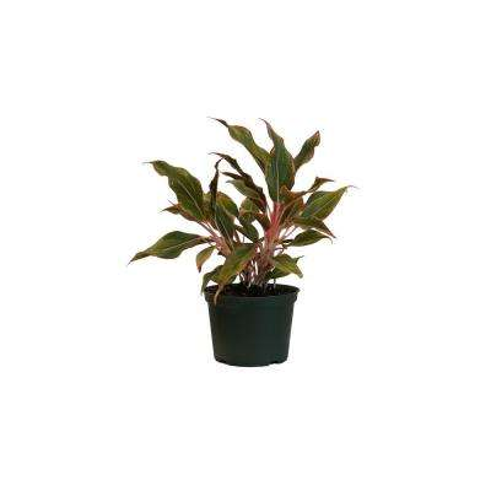 Aglaonema Siam Aurora Live Indoor Outdoor Houseplant in Grower Pot 12 in. - 17 in. Tall