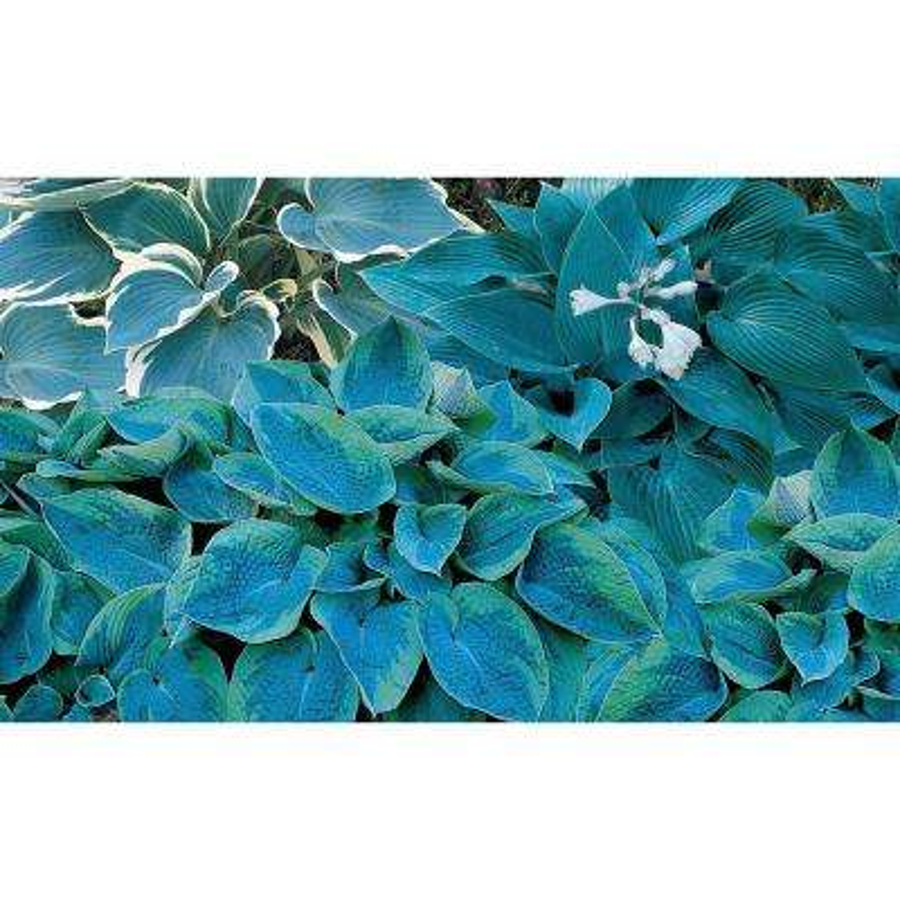 Blue Hosta Mixture, Live Bareroot Perennial Plants (25-Pack)