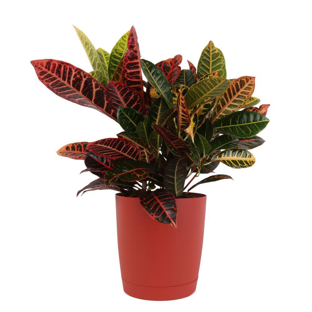 Croton Petra in 8.75 in. Red Decor Pot