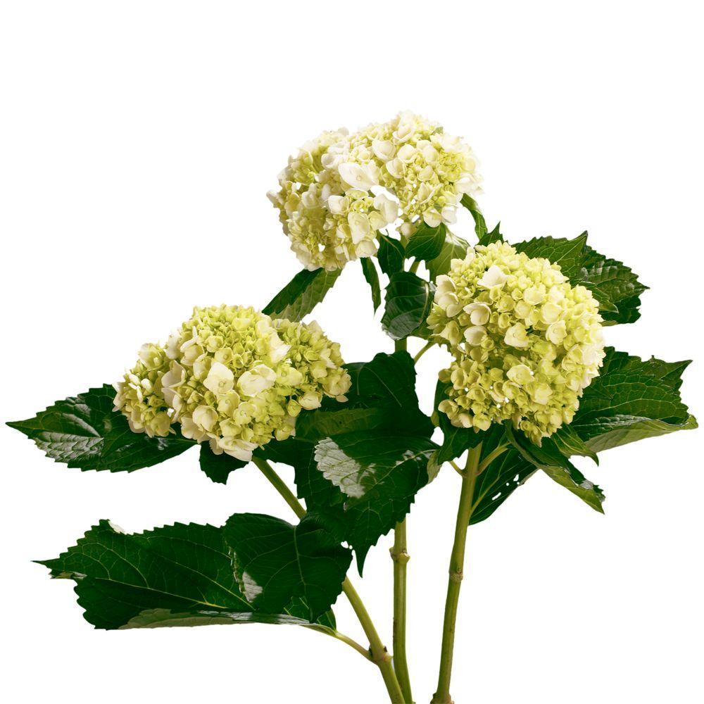 Globalrose Fresh 50 Stems Of Light Green Hydrangeas