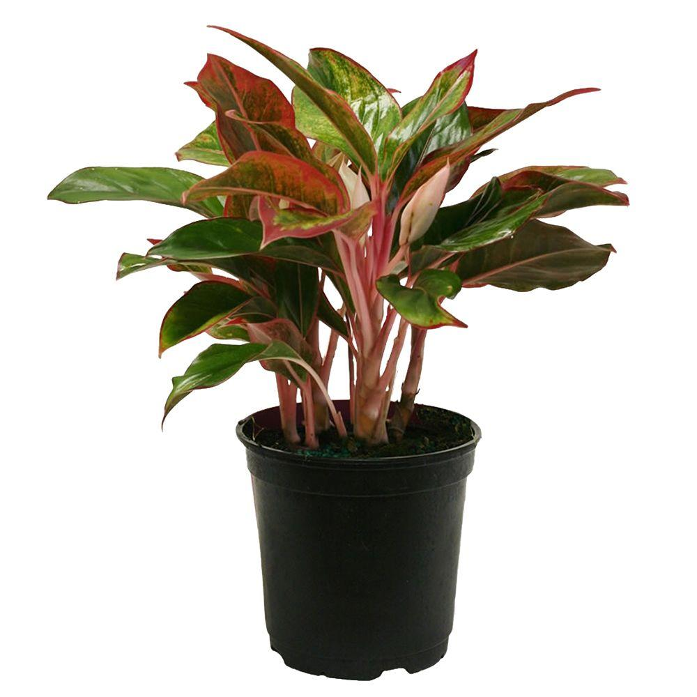 Delray Plants Aglaonema Creta in 6 in. Grower Pot-6AGCRETA ...