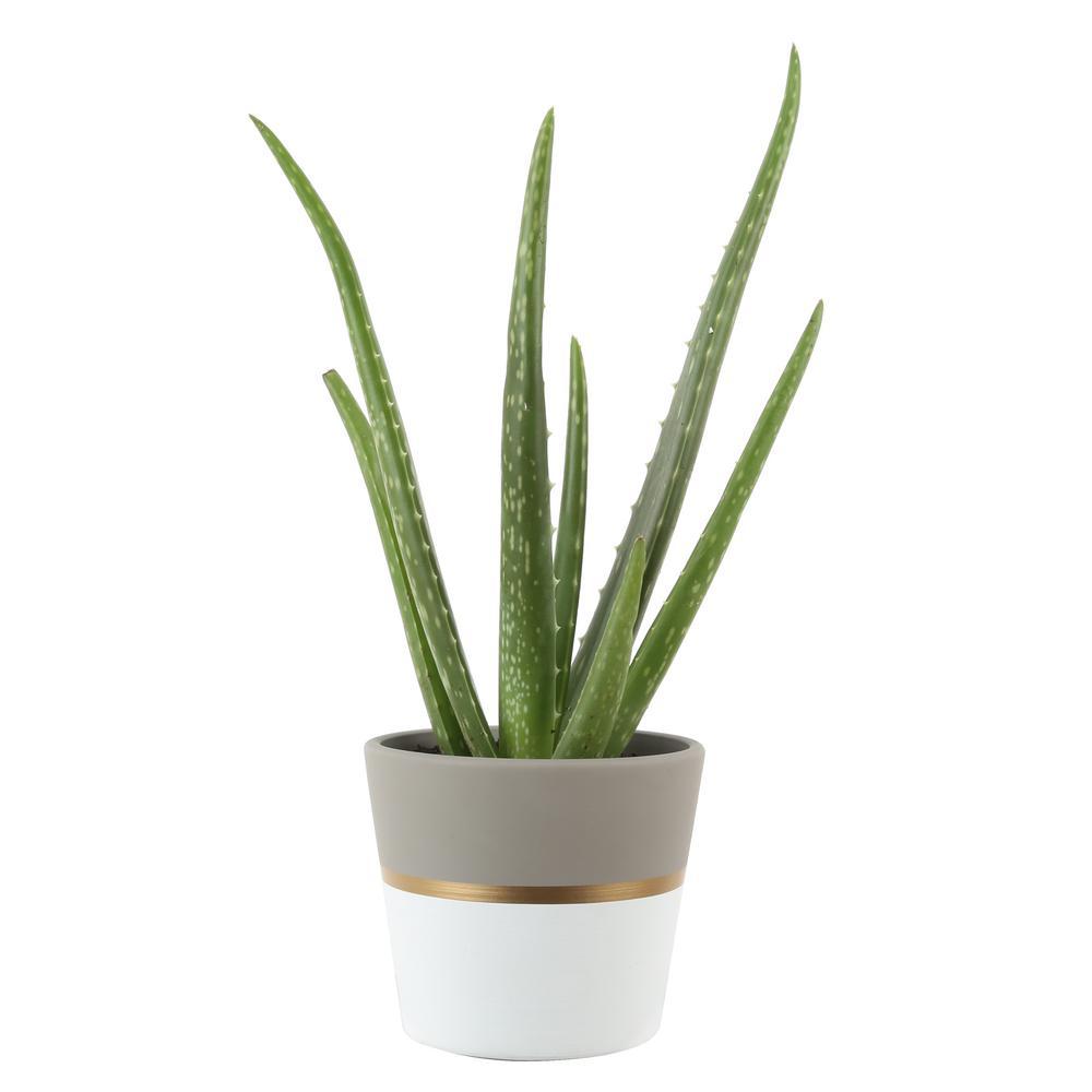 4 in. 2-Tone Aloe in Gold Ceramic