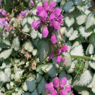 Flowering perennial low flowering perennials garden plants 1 gal purple spotted deadnettle plant mightylinksfo