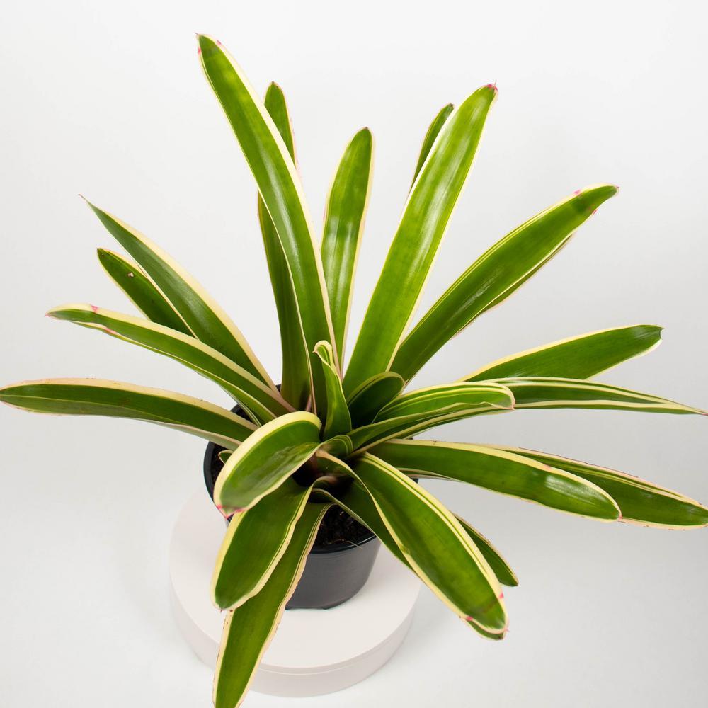 Sheba Bromeliad (Neoregelia) Live Plant in 8 in. Growers Pot
