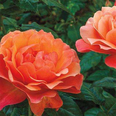 Living Easy Floribunda Rose, Live Bareroot Plant, Apricot and Orange Color Flowers (1-Pack)