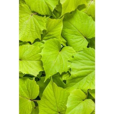 4-Pack, 4.25 in. Grande Sweet Caroline Bewitched Green with Envy Sweet Potato Vine(Ipomoea) Live Plant, Lime Foliage