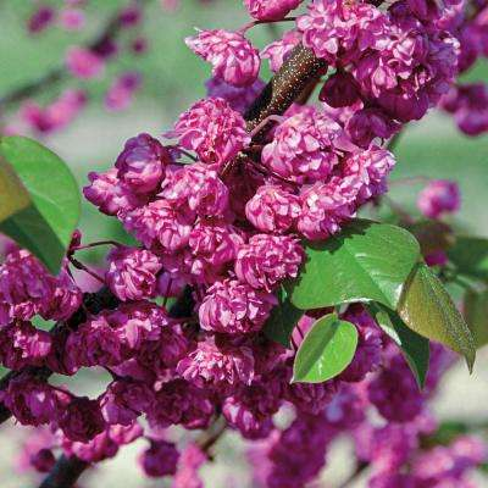 Pink Flowers Pink Pom Poms Redbud (Cercis) Live Bareroot Tree (1-Pack)