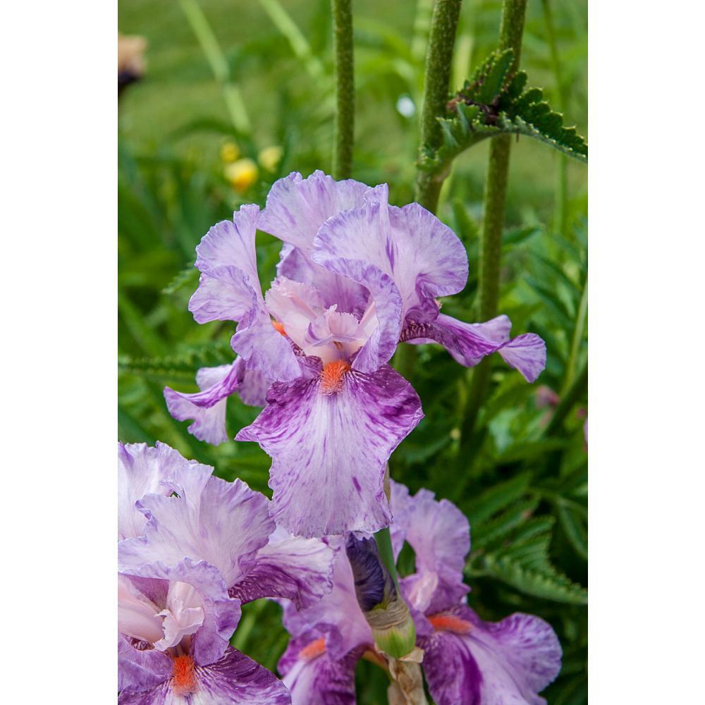Brecks Mean Streak Bearded Iris Lavenderpink Flowers Live Bareroot
