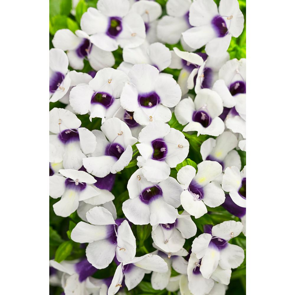 White Annuals Garden Plants Flowers The Home Depot