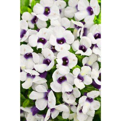 Catalina Grape-o-Licious Wishbone Flower (Torenia) Live Plant, White Flowers and Purple Throat, 4.25 in. Grande, 4-pack
