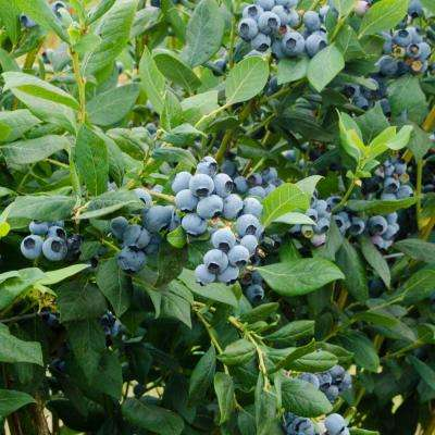 1  Gal. Duke Blueberry (Vaccinium), Live Fruiting Plant, White Flowers with Green Foliage (1-Pack)