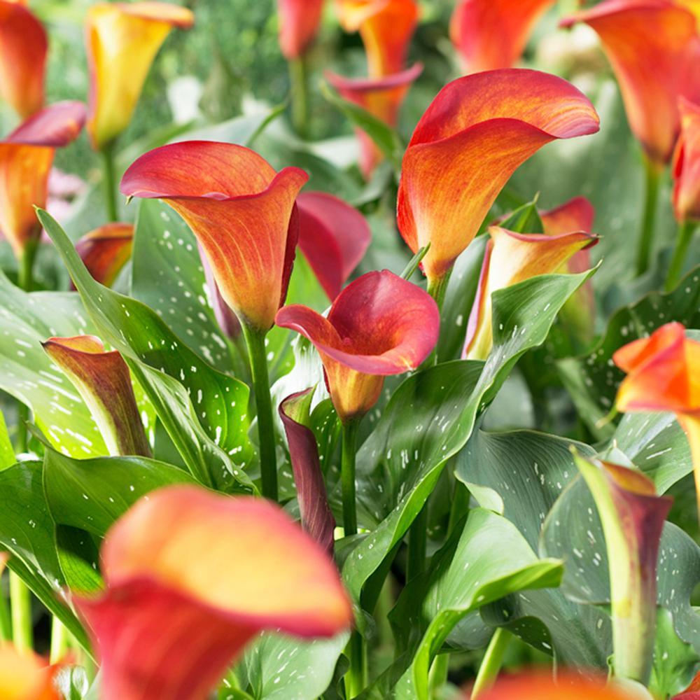 Callas Flame Bulbs (Set of 5)