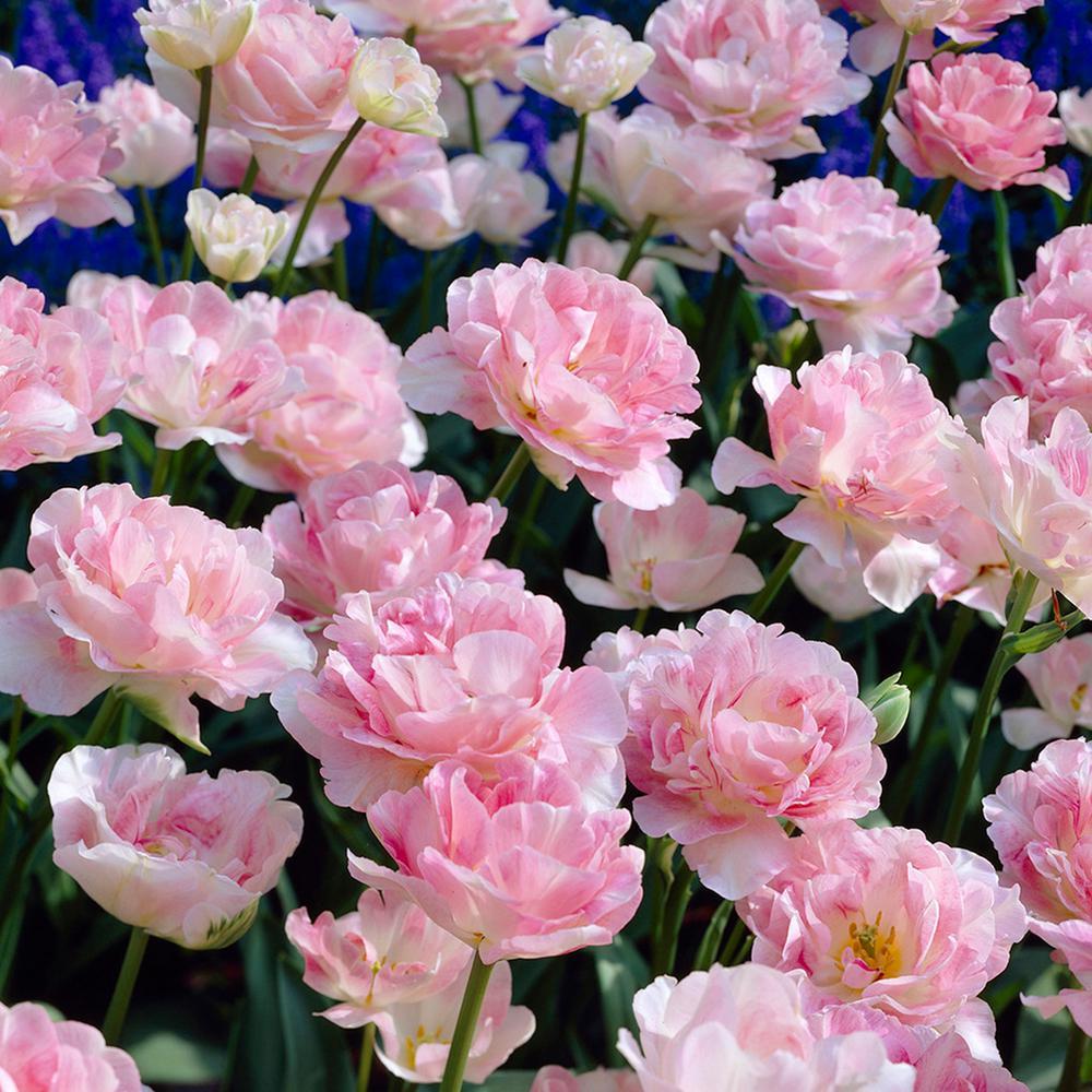 Tulips Bulbs Angelique (Set of 12)