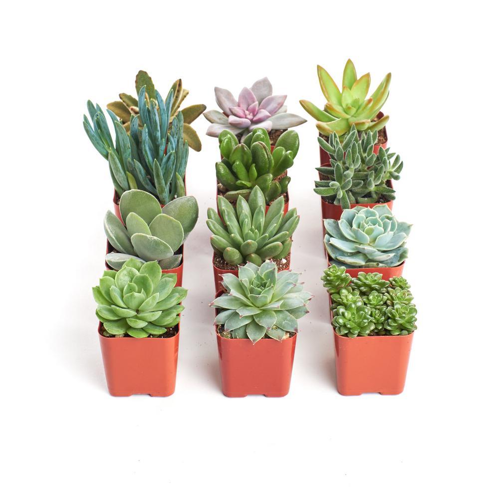 Unique Succulent Collection (12-Pack)