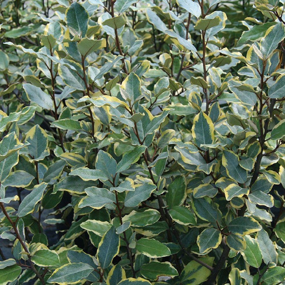 2 Gal. Olive Martini Elaeagnus, Live Evergreen Shrub, Variegated Gold and Green Foliage