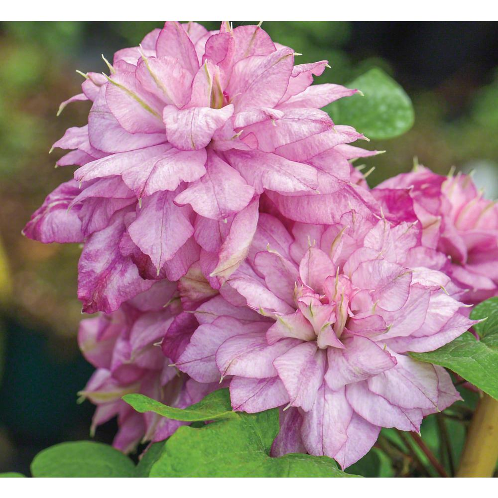 Spring Hill Nurseries Innocent Glance Clematis Live Bareroot Plant