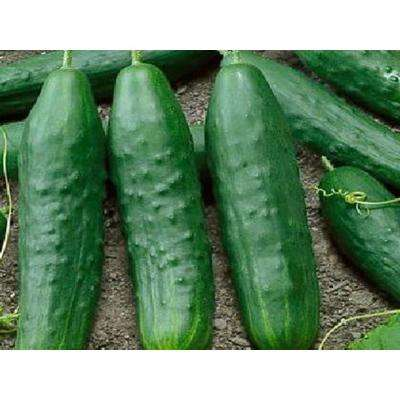Straight Eight Cucumber, Live Plant, Vegetable, 4.25 in. Grande