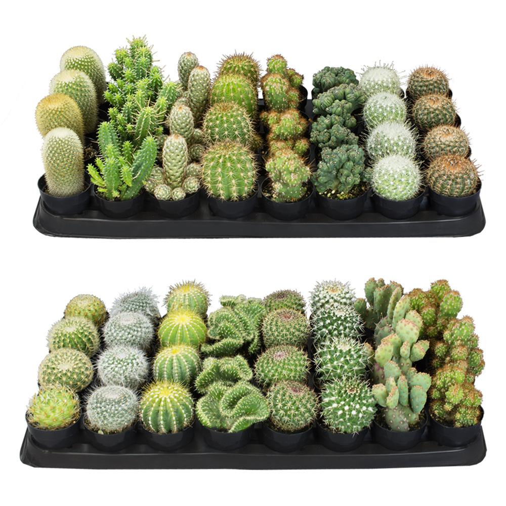 Altman Plants 2 5 In Cactus Plant Collection 64 Pack 0883248