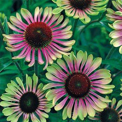 Green Twister Coneflower (Echinacea), Live Bareroot Plant, Green and Red Flowering Perennial (3-Pack)