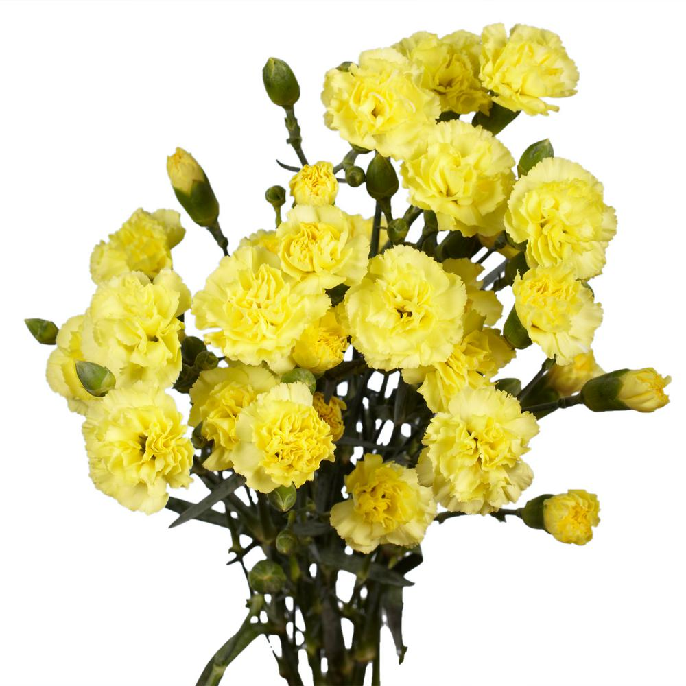 Globalrose Fresh Yellow Mini Carnations 160 Stems 640 Blooms
