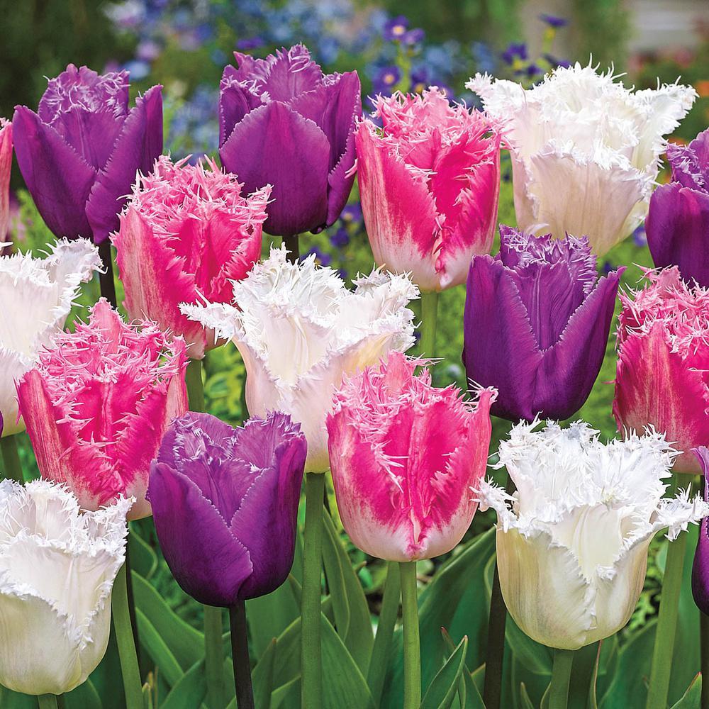 Ice Crystal Multi-Colored Tulip Bulbs (10-Pack)
