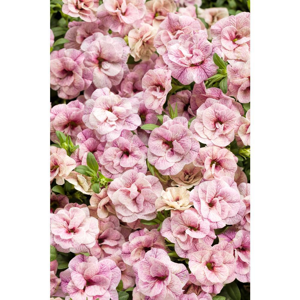 Superbells Double Orchid (Calibrachoa) Live Plant Light Pink Double Flowers 4.25 in. Grande (4-Pack)