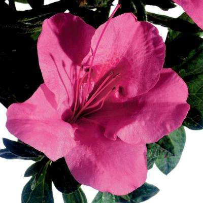 3 Gal. Autumn Carnival - Compact Re-Blooming Evergreen Shrub with Fluorescent Pink Blooms