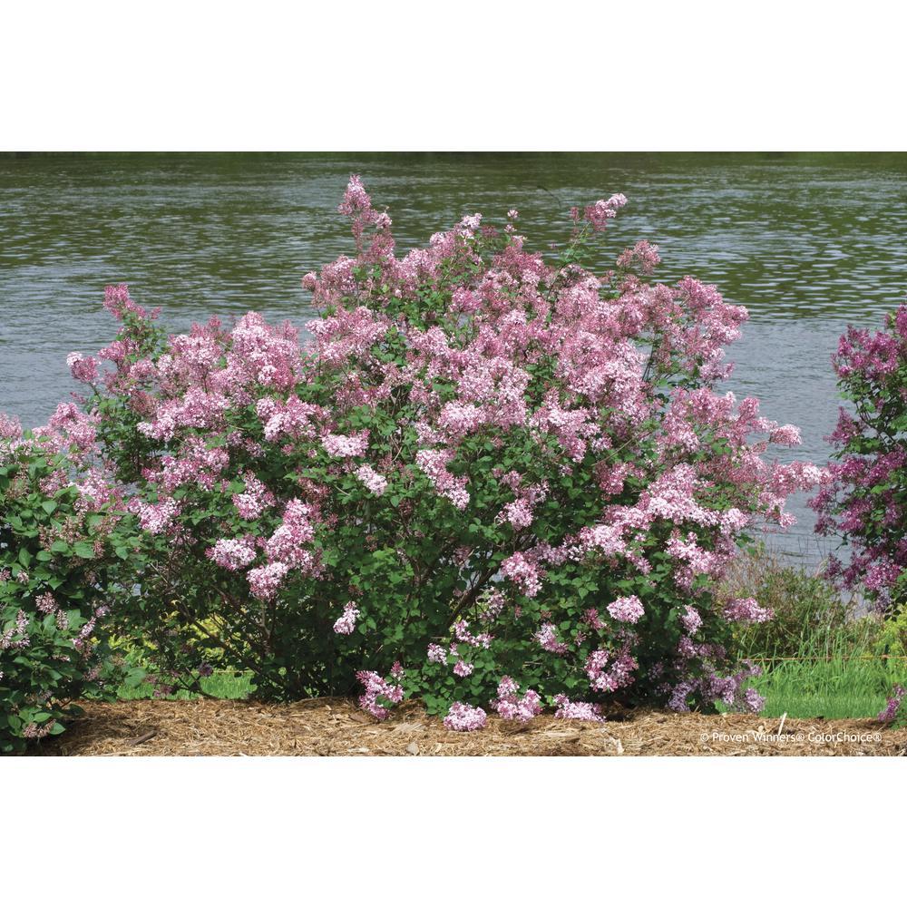 Lilac shrubs trees bushes the home depot bloomerang pink perfume reblooming lilac syringa live shrub pink flowers mightylinksfo