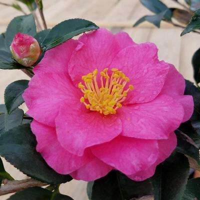 9.25 in. Pot - Shishi Gashira Camellia(sasanqua) - Evergreen Shrub with Pink Blooms, Live Plant