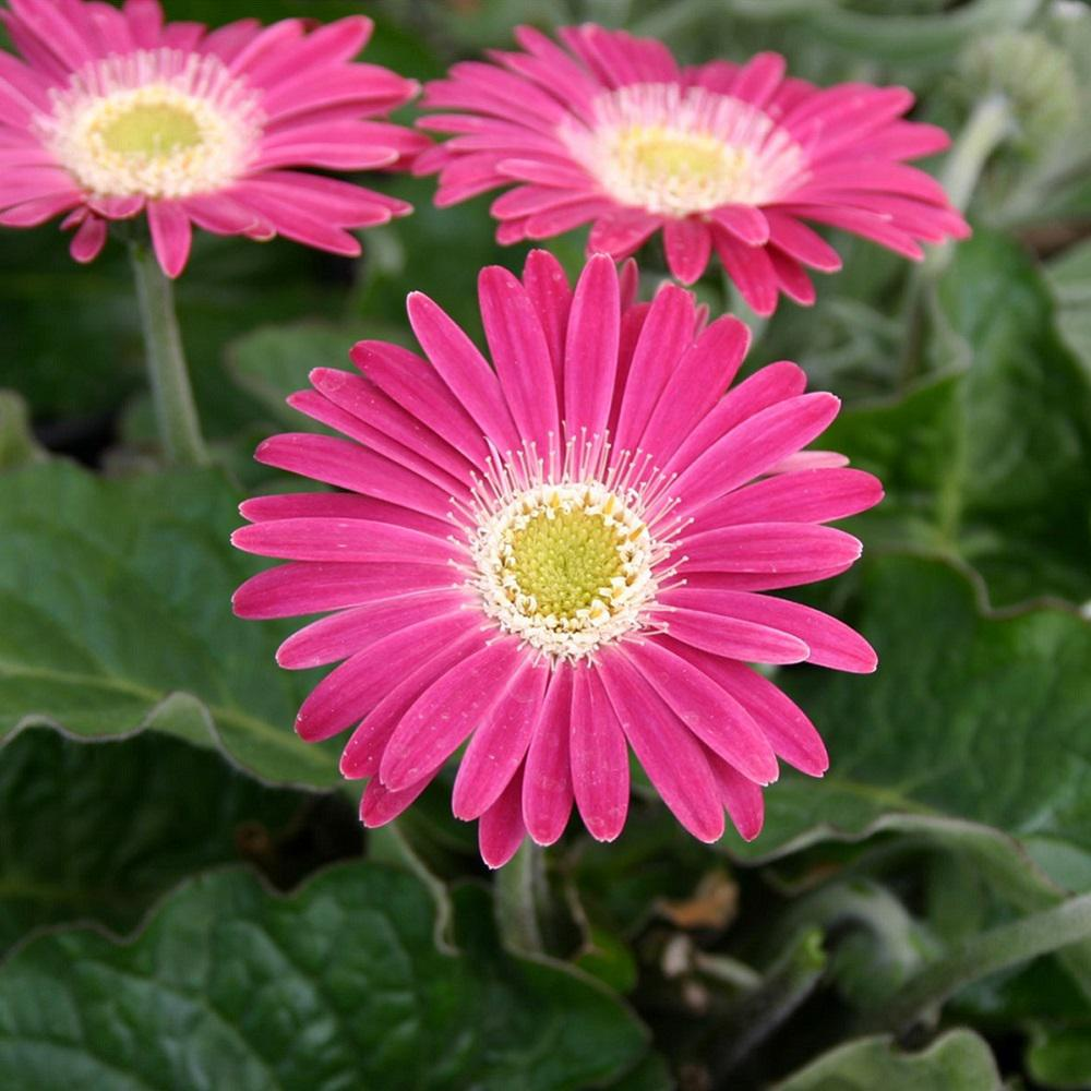 Southern living plant collection 2 gal carmine pink drakensberg southern living plant collection 2 gal carmine pink drakensberg daisy gerbera with bright pink blooms mightylinksfo