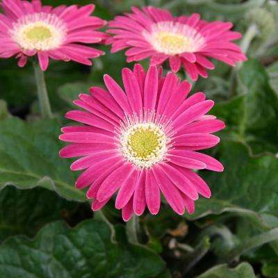 Daisy - Perennials - Garden Plants & Flowers - The Home Depot