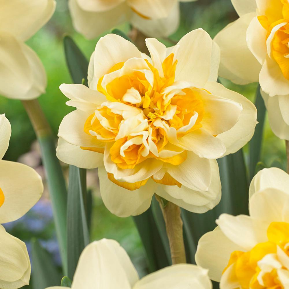 Van Zyverden Daffodils Bulbs Peach Cobbler Set Of 12 87034 The