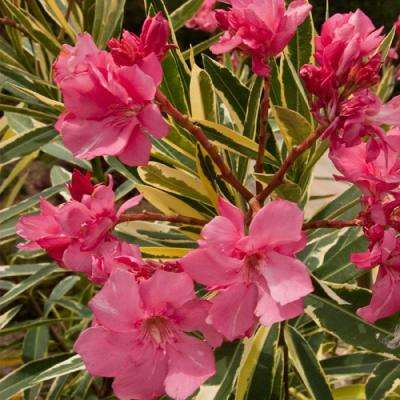 3 Gal. Twist of Pink Oleander, Evergreen Shrub, Green and White Variegated Foliage, Pink Blooms