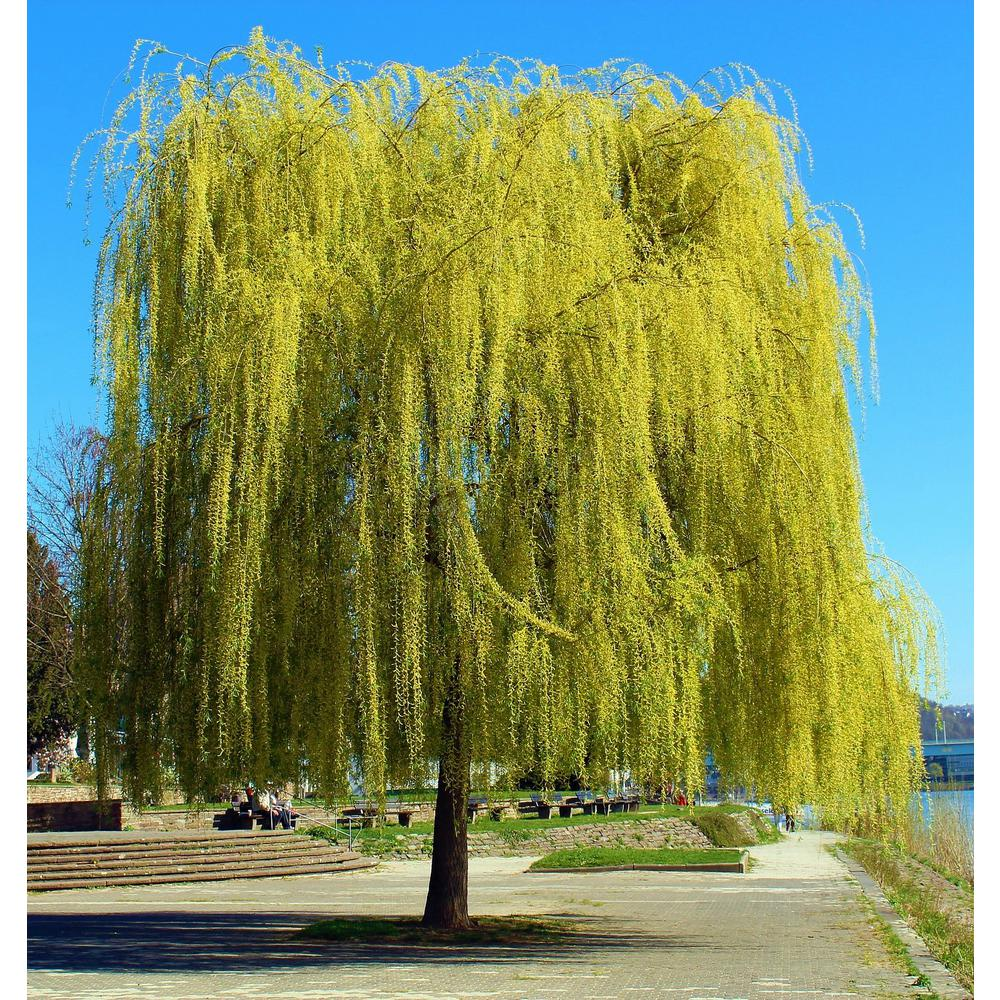Online Orchards Golden Weeping Willow Tree Bare Root 3 Ft To 4