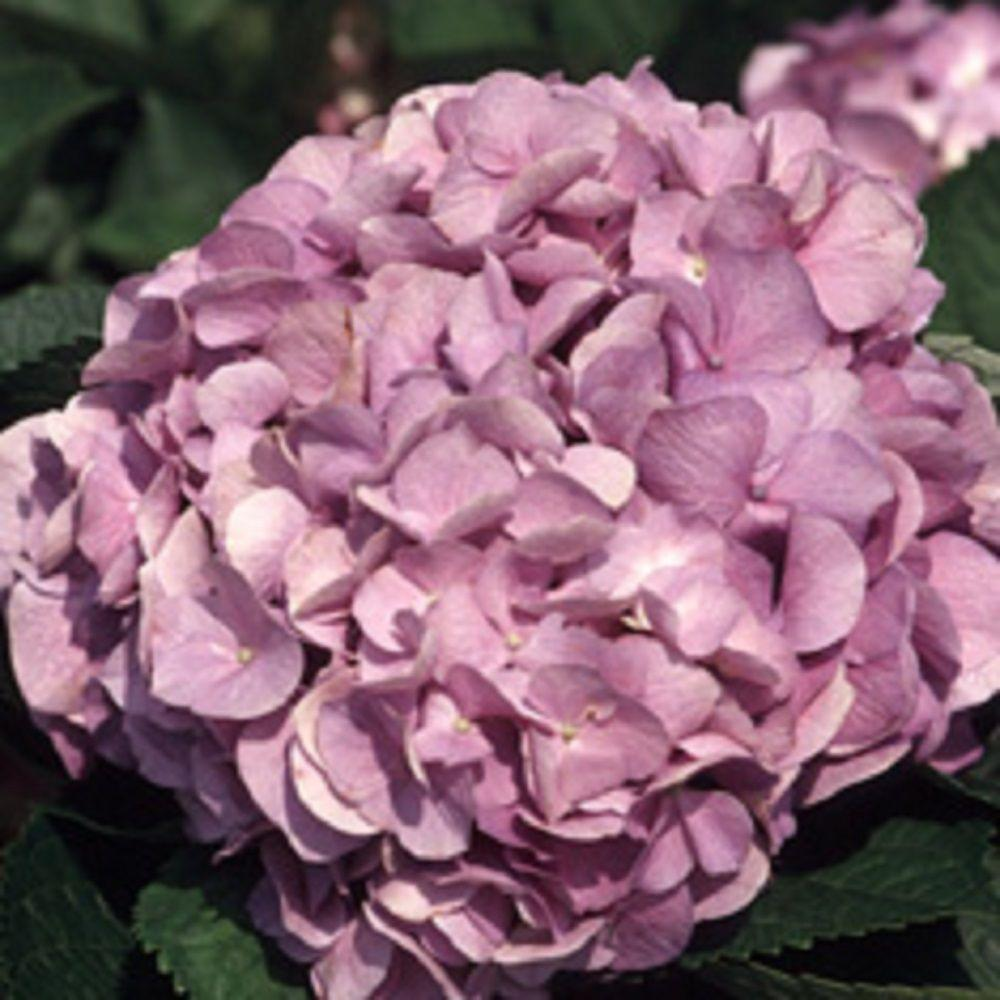 9.25 in. Pot - Glory Blue Hydrangea(Macrophylla) Live Deciduous Shrub, Pink or Blue Mophead Blooms