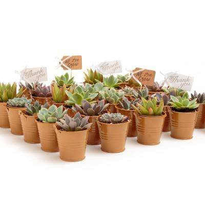 2 in. Wedding Event Rosette Succulents Plant with Caramel Metal Pails and Let Love Grow Tags (100-Pack)