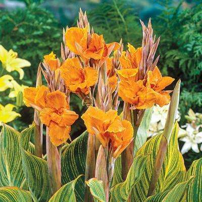 Pretoria Giant Variegated Canna Lily Bulbs with Orange Flowers (3-Pack)
