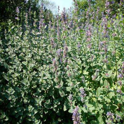 1 gal. Blue Wonder Catmint Plant