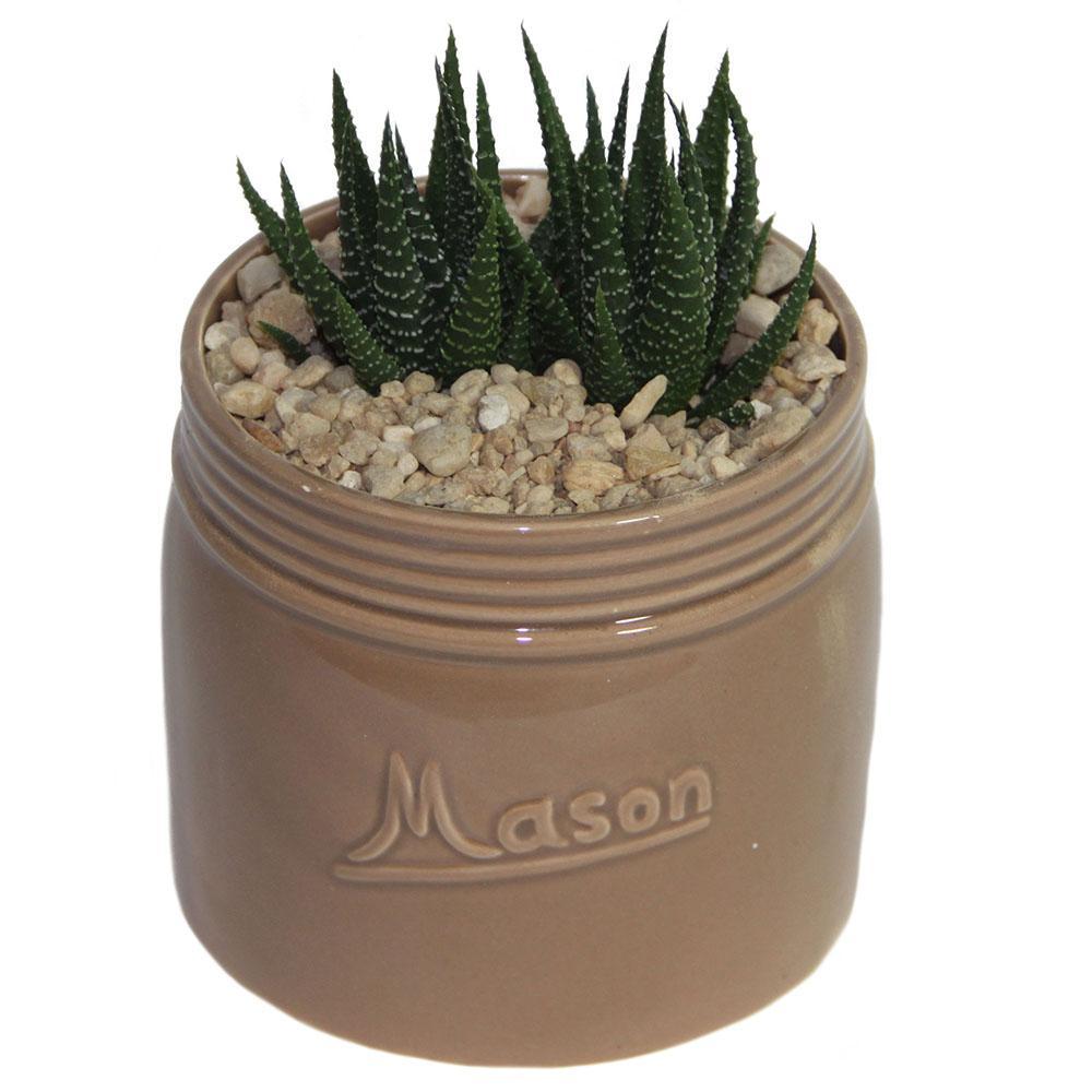 Haworthia Succulent in 4.5 in. Mason Jar Tan