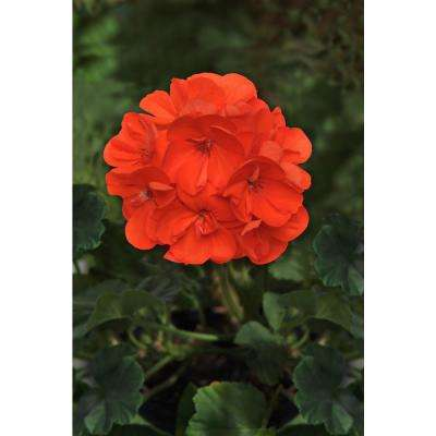 1 Qt. Orange Geranium Flowers in Grower Pot (4-Pack)